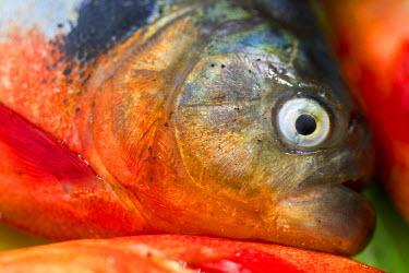 VN01158 Venezuela, Delta Amacuro, Orinoco Delta, Piranha Fish