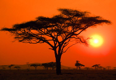Silhouette of an acacia tree with the sun setting in the background on the Serengeti in Tanzania