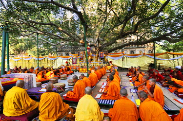 IND6281AW Tibetan monks in Bodhgaya, praying under the sacred Buddha banyan tree. It was here that the Buddha had the enlightenment. India