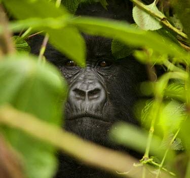 RW1148AW Virunga, Rwanda. A silverback gorilla peers through the undergrowth.