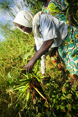 RW1169AW Rwanda. A widow of genocide collects water hyacinth for the Covega Hyacinth weaving cooperative.
