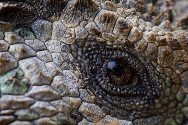 SA07_PSO0104 Ecuador, Galapagos Islands National Park, Santa Cruz Island, Puerto Ayora, Detail of Marine Iguana (Amblyrhynchus cristatus) resting near Darwin Research Station in