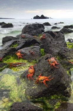 SA07_RKL0016 Sally Lightfoot Crabs (Grapsus grapsus) along the shoreline Espanola Island, Galapagos National Park, Ecuador
