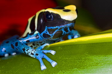 SA18_BJA0002 Central America, Costa Rica. Close-up of poison dart frog on leaf.