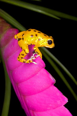 SA22_BJA0021 Central America, Costa Rica. Close-up of poison dart frog on pink leaf.