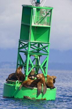 US02_PSO0622 USA, Alaska, Angoon, Steller sea lions (Eumetopias jubatus) resting on navigational buoy along Chatham Strait on summer morning