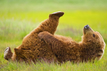 US02_PSO0825 USA, Alaska, Katmai National Park, Brown bear (Ursus arctos) lies on back in meadow along Hallo Bay