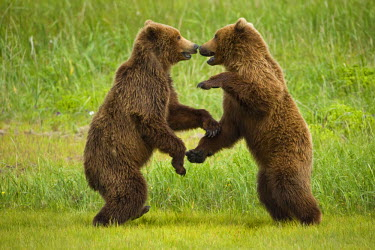 US02_PSO0887 USA, Alaska, Katmai National Park, Brown Bears (Ursus arctos) sparring in meadow along Hallo Bay