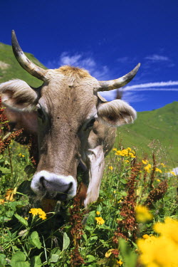 GER0316AW Cow in the Alps, Oberstdorf, Allgaeu, Bavaria, Germany