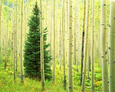 US05_CGU0098 USA, Colorado, White River National Forest, Silver FIr in Aspen Grove