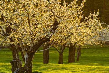 US27_CHA2159 Flathead cherry trees blossom in spring along Flathead Lake near Polson, Montana, USA
