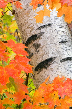 US30_RKL0001 Birch trunk in Autumn, Gorham, The White Mountains National Forest, New Hampshire, USA