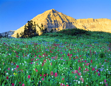 US45_SSM0316 Mount Timpanogos Wilderness, Utah. USA. Wildflowers below Mount Timpanogos. Timpanogos Basin. Wasatch Mountains. Uinta-Wasatch-Cache National Forest.
