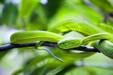 THA0237 Thailand, Nakhon Ratchasima, Khao Yai.  White-lipped viper in the Khao Yai National Park.  Covering 2170 sq kilometres, Khao Yai incorporates one of the largest intact monsoon forests in Asia and is a...