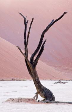 NAM6032AW Skeleton of a camel thorn tree in Dead Vlei, clay pan near Sossusvlei, Namib-Naukluft National Park, Namib Desert, Namibia, Africa