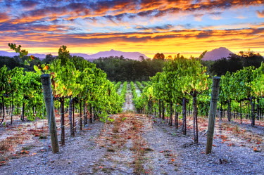 AR4223000024 A beautiful sunrise over a vineyard in the Dry Creek Wine Country, California, USA