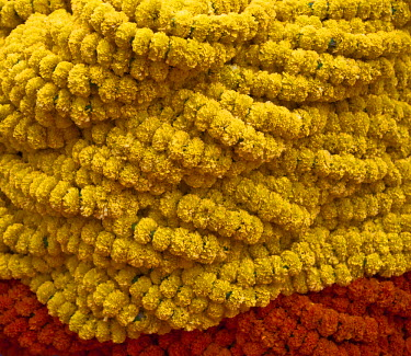 IND6371 A close up of Fresh Marigold garlands at the busy Mullik Ghat flower market near Howrah bridge.
