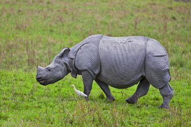 IND6460 A Great Indian One-horned Rhino in Kaziranga National Park. This extensive park is a World Heritage Site and home to two- thirds of the world�s Great One-horned Rhinoceroses.