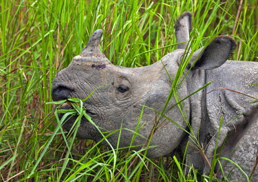 IND6462 A Great Indian One-horned Rhino feeds on swamp grass in Kaziranga National Park. This extensive park is a World Heritage Site and home to two- thirds of the world�s Great One-horned Rhinoceroses.