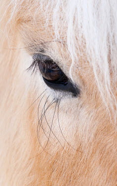 FIN1026AW Close-up of a horse's eye, Lapland, Finland
