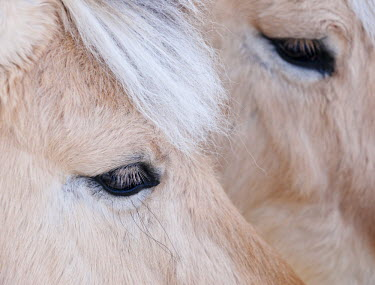 FIN1025AW Close-up of a horse's eye, Lapland, Finland