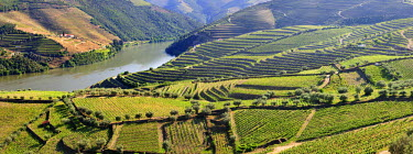 POR6450AW Terraced vineyards in Chanceleiros, Douro region, a Unesco World heritage site. Portugal