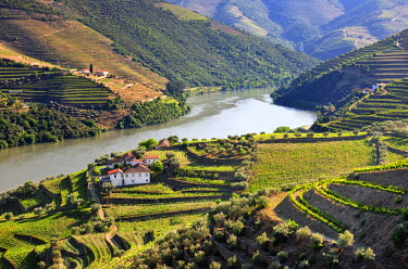 POR6451AW Terraced vineyards in Chanceleiros, Douro region, a Unesco World heritage site. Portugal