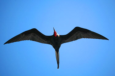 GAL0150 Ecuador, Galapagos. A male frigate bird soars overhead