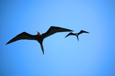 GAL0151 Ecuador, Galapagos. A male and female frigate bird soar overhead.
