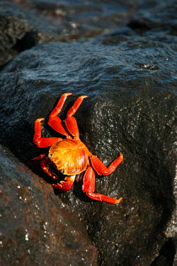 GAL0152 Ecuador, Galapagos. A brightly coloured Sally lightfoot crab skips over the dark rocks.