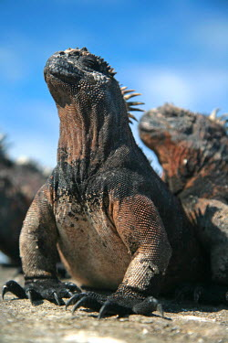 GAL0154 Ecuador, Galapagos. A large male marine iguana soaks up the rays.