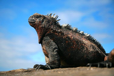 GAL0155 Ecuador, Galapagos. A large male marine iguana soaks up the rays.