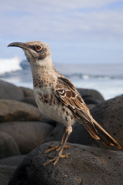 GAL0157 Ecuador, Galapagos. A very serious looking Espa�ola Mockingbird on the boulders by the sea.