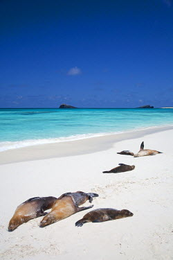GAL0164 Ecuador, Galapagos. Sunbathing sea lions on the stunning beaches of San Cristobal, Galapagos.
