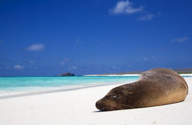 GAL0167 Ecuador, Galapagos. Sunbathing sea lion on the stunning beaches of San Cristobal, Galapagos.
