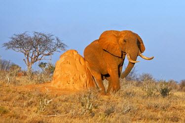 KEN7549 A fine African bull elephant rubs itself on a termite mound in Tsavo East National Park.