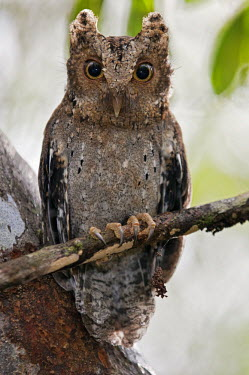 KEN7555 The tiny Sokoke Scops Owl in the Arabuko-Sokoke Forest near Malindi.  Discovered in 1965, this globally endangered species has a very restricted habitat.