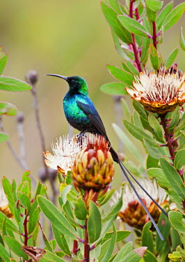 KEN7606 A Malachite Sunbird on a protea flower at 9,750 feet on the moorlands of Mount Kenya.