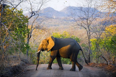 MW1278 Malawi, Majete Wildlife Reserve.  An elephant walks across the main track through Majete in the late afternoon.
