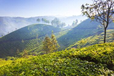 IN06332 Tea Plantation, Munnar, Western Ghats, Kerala, South India