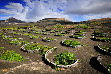 SPA3964AW Traditional vineyards in La Geria where the wines are produced in a volcanic ash soil. Lanzarote, Canary islands