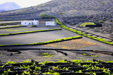 SPA3966AW Traditional vineyards in La Geria where the wines are produced in a volcanic ash soil. Lanzarote, Canary islands