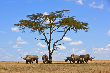 KEN7622 Towards mid-day, white rhinos gather around the shade of an acacia tree to slumber.