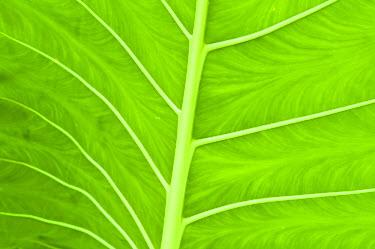 AR4265700009 Leaf vein detail,  Rarotonga,  Cook Islands: Tupapa, Rarotonga, Cook Islands