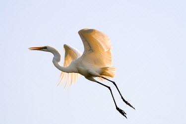 AR4282500013 white egret flying: Casamance, Guinea Bissau