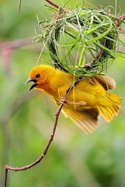 KEN7667 Eastern golden weaver (male) displaying beneath its half-built nest of grass stems, Diani Beach Kenya.
