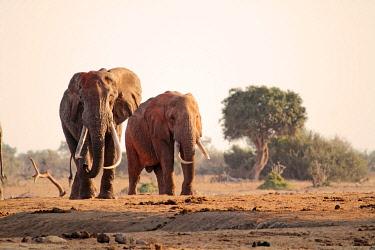 KEN7702 Bull African elephants in Tsavo East National Park, Kenya.