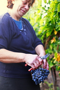 IT9992AW Italy, Umbria, Terni district, Giove, Grape harvest in Sandonna winery