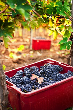 IT9993AW Italy, Umbria, Terni district, Giove, Grape harvest in Sandonna winery