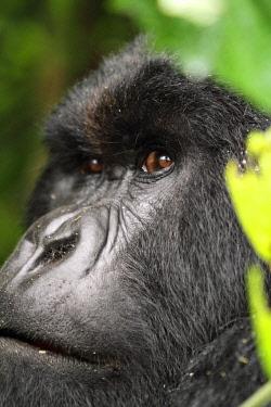RW1205 Silverback mountain gorilla, Kwitonda Group, Mt Gahinga, Volcanoes National park, Rwanda.